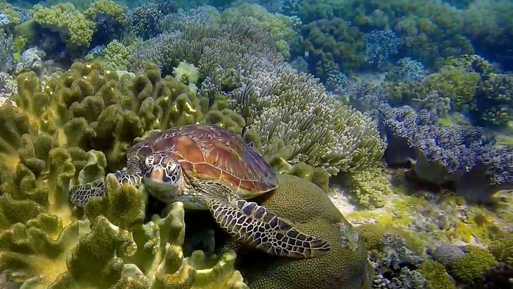 Une tortue en snorkeling au Lusong coral garden, île de Busuanga Palawan