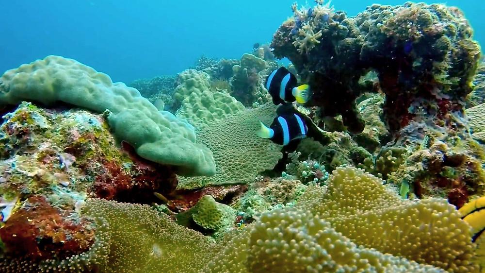 Monde sous-marin au Lusong Coral Garden avec des poissons clown noir