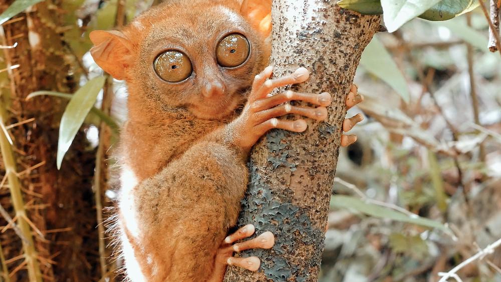 À Bohol, se cache le primate endémique de Bohol : l'incroyable petit singe tarsier aux gros yeux ronds, à mi-chemin entre Gremlins et E.T