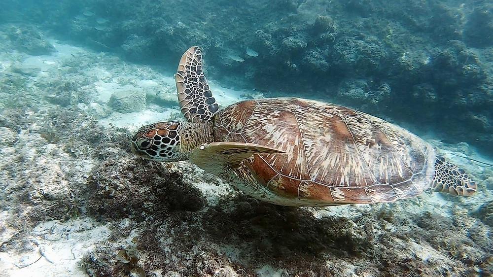 Nager avec une tortue verte d'un mètre de diamètre à Moalboal aux Visayas
