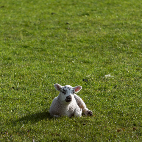 Super Cute Lamb time