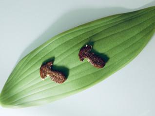 Curso Fermentados Online-Receta Almendrado de hongo y miel de caña. Petit-four pro-prebiótico.
