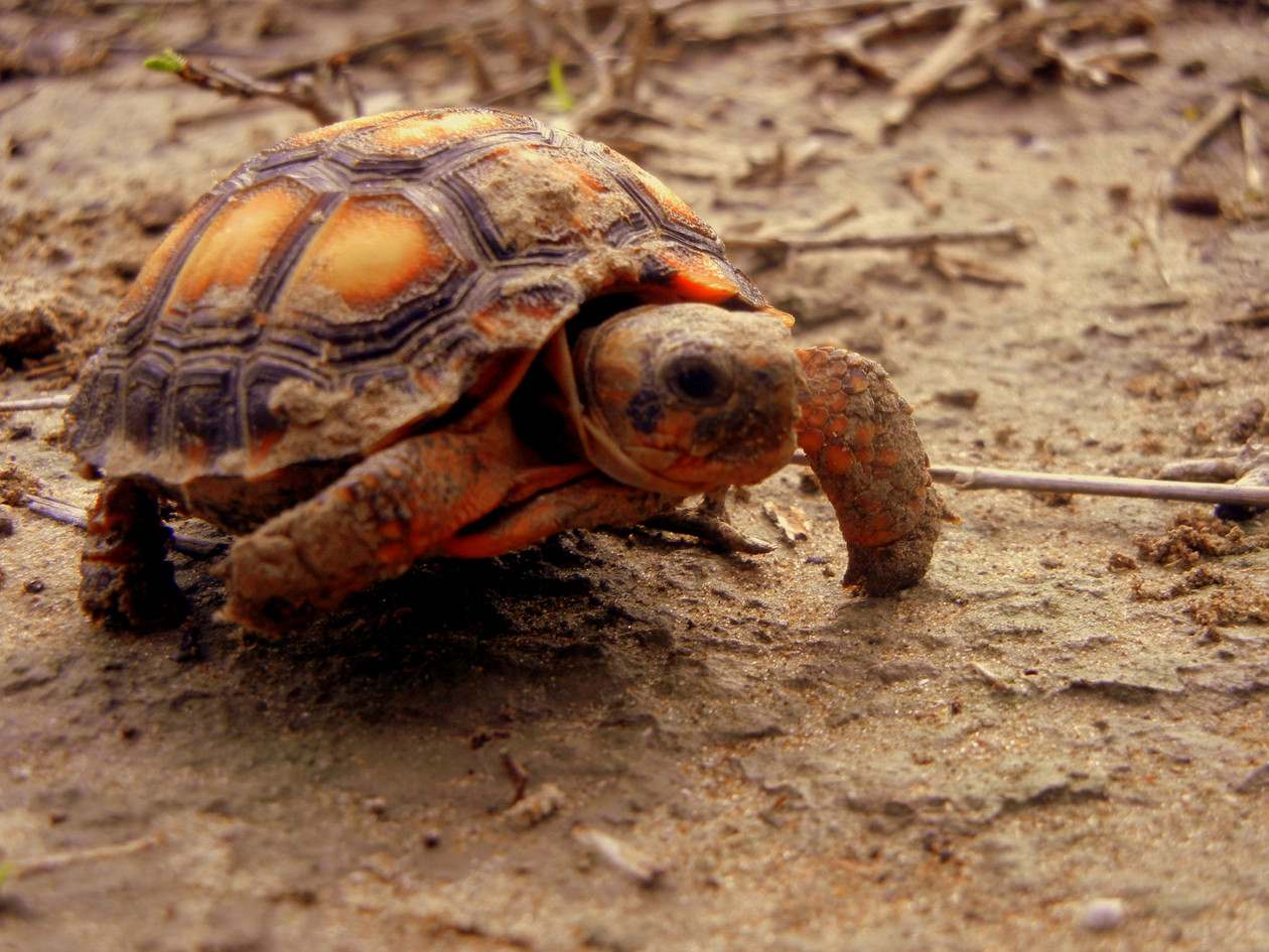 Baby Texas Tortoise on Horse Island 2 20