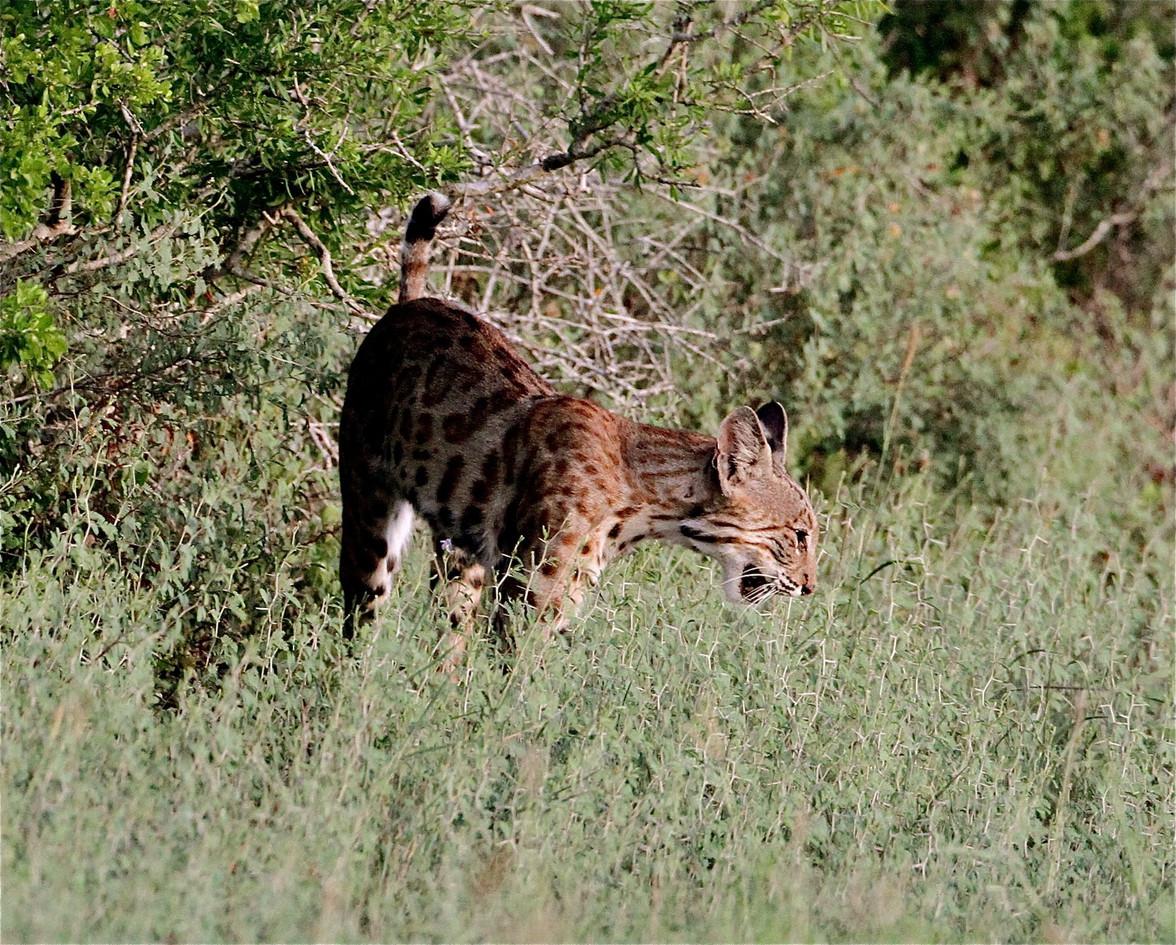 Big kitty on the prowl steve sinclair.jp