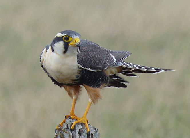 aplomado_falcon.jpg