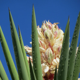 yucca in bloom Cary Atwood.jpg