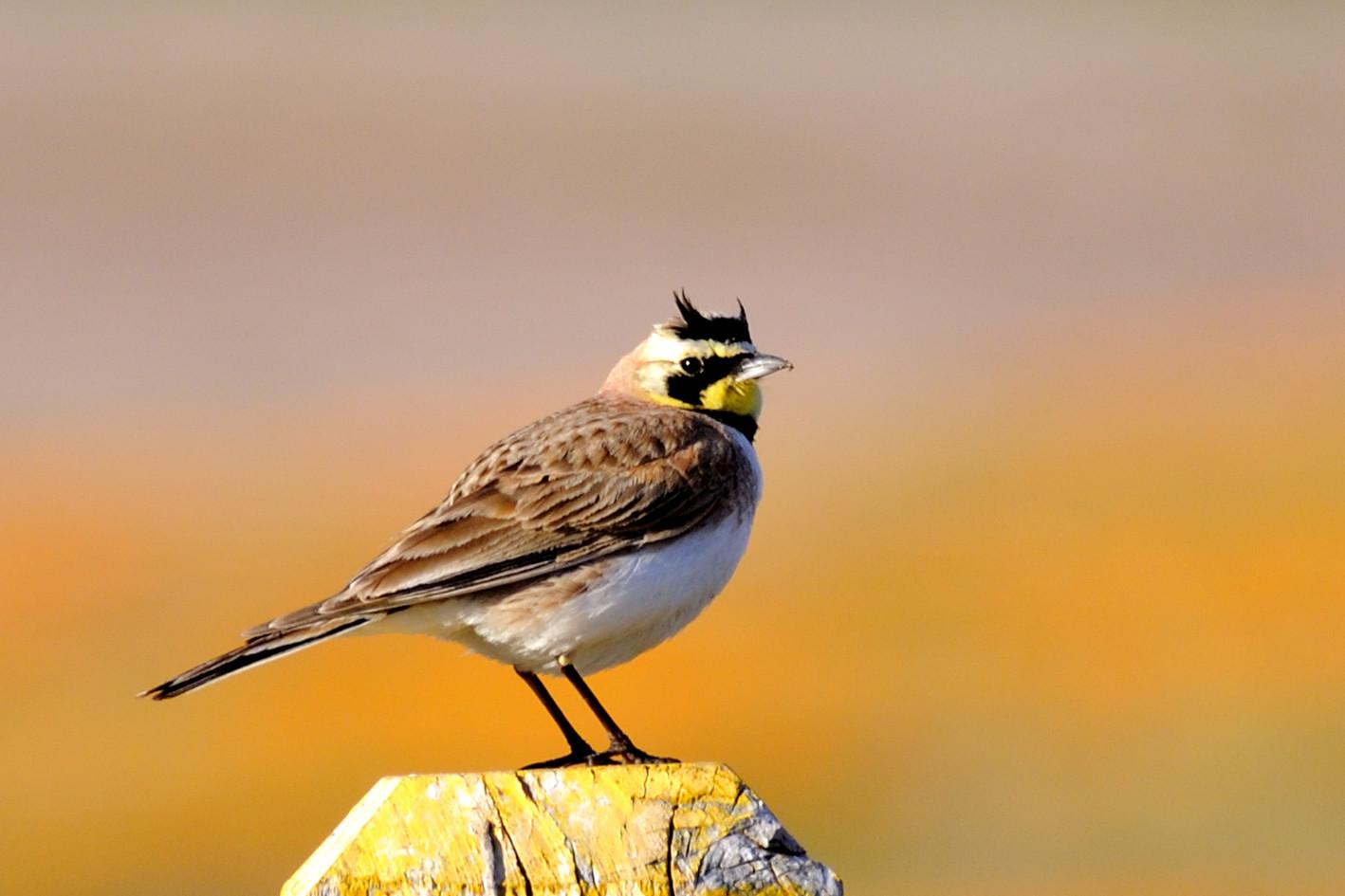 horned lark.jpg