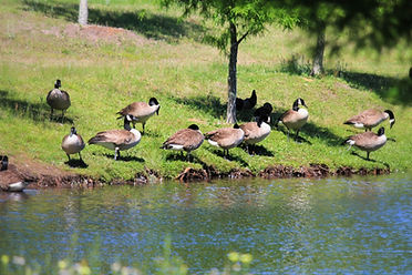 GEESE ARE HERE 2018-21a_edited.jpg