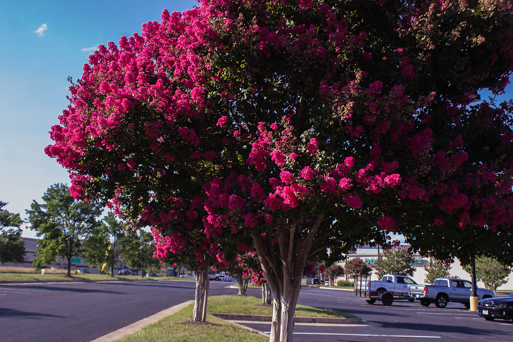 Crepe Myrtles (Lagastroemia) are shrubs or trees in beautiful colors. A favorite in southern states.