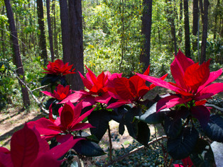 Poinsettia a favorite at Christmas time
