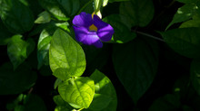 Morning Glory  a Southern favorite