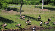 Known for their black head and necks, Canadian Geese (A.K.A) Canada Goose live in or around retentio