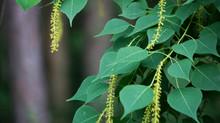 Tea leaves trees