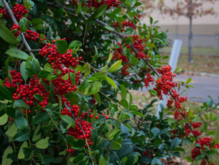 Holly Berry Trees