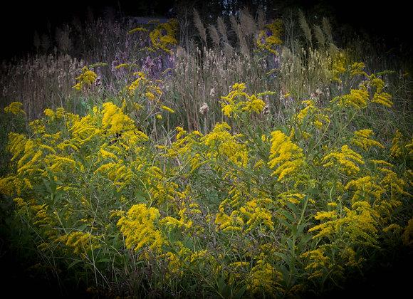 Black & Yellow Goldenrod