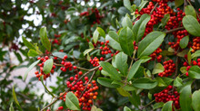 Holly- Berry trees-