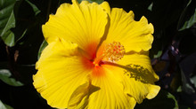 Yellow Hibiscus, a tropical plant is easy to care for. Hardy Hibiscus create large colorful blooms.