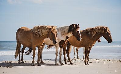 Chincoteague & Assateague Ponies - Virgi