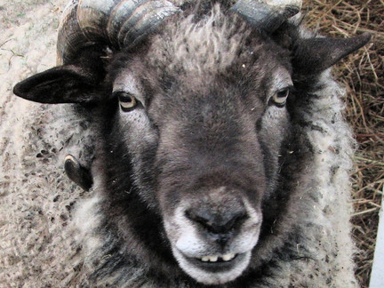 Five Fun Facts About Sheep