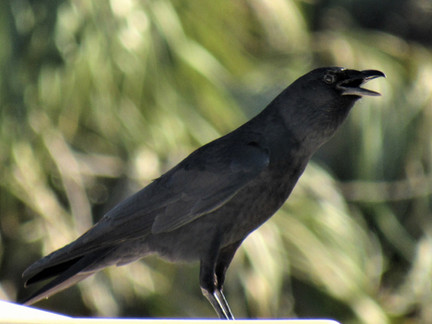How are Crows Like People?