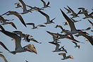 a black skimmers circling in air.JPG