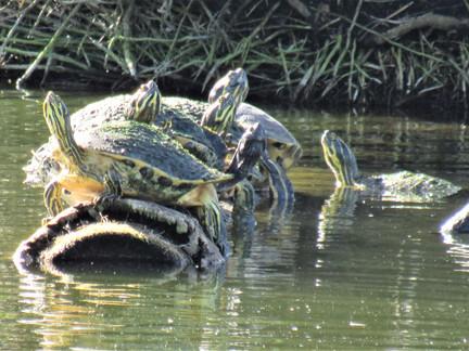 Why Do Turtles Worship the Sun?