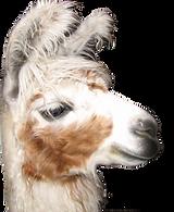 llama%20-%20white%20brown%20cutie_edited