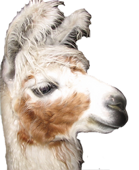 llama%20-%20white%20brown%20cutie_edited