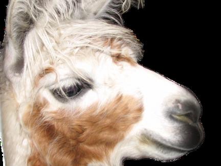 Need a Guard Llama?