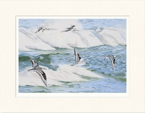 Sanderling - mounted print