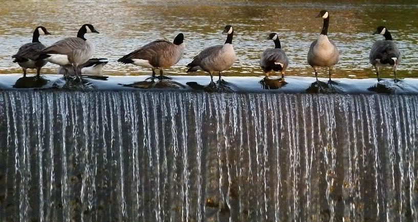canada-geese-62044_1920_edited.jpg