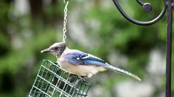 Blue Jays and Other Songbirds in the Northeast Hit with Mysterious Disease