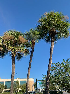 Palm Trees Need Trimming