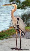 Great Blue Heron Crystal River