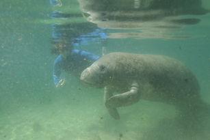 swim next to manatee.JPG