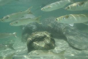 manatee and fish.JPG