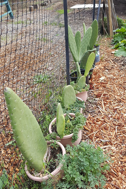 Burbank Spineless Cactus Pad - Organic