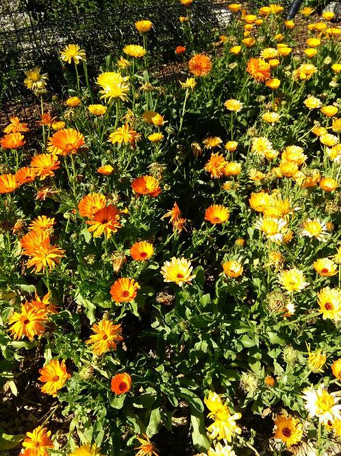 Organic Resina Calendula Seeds - 50+ seeds