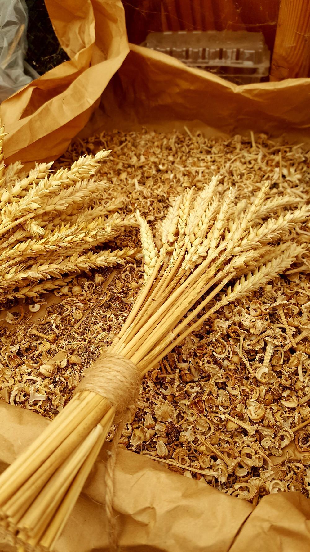 Short bunch of tied Maris Widgeon wheat