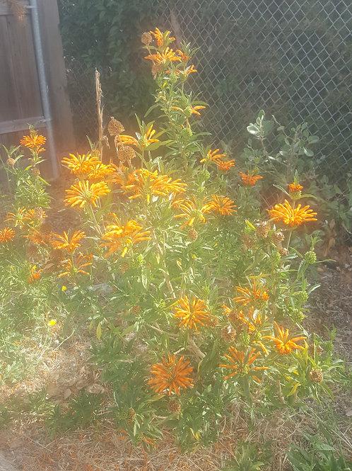 Organic Lion's Tail Seeds - Leonitis leonuris - 20+ seeds