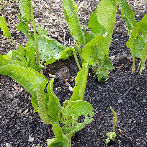 Horseradish crowns ready to be dug up for planting.