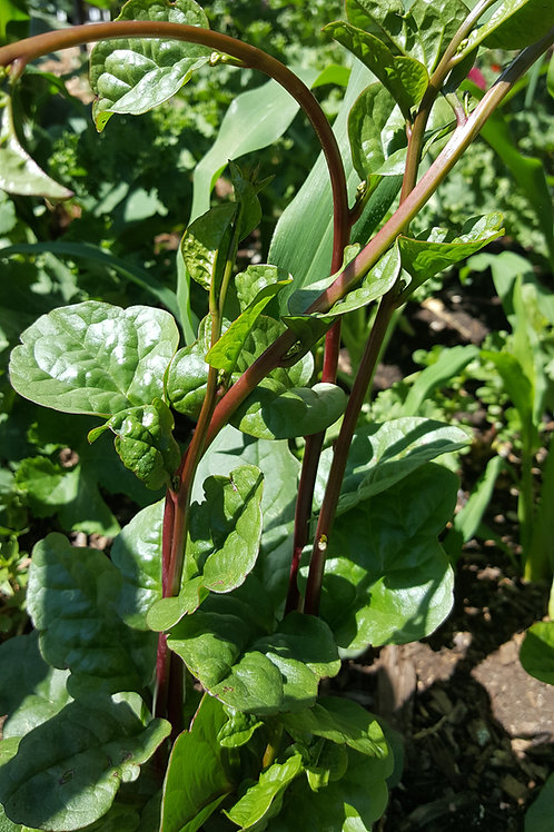 Organic Red Stem Malabar Spinach Seeds
