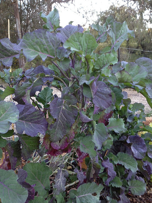 Perennial purple tree collards growing tall at Cloverfield.