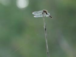 Female Autumn meadowhawk