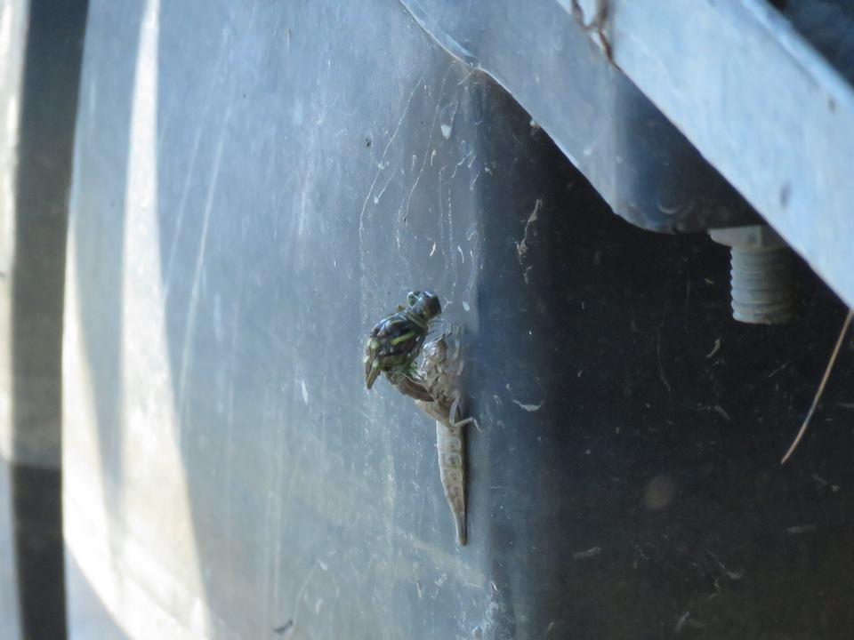 Eclosing Arrow clubtail