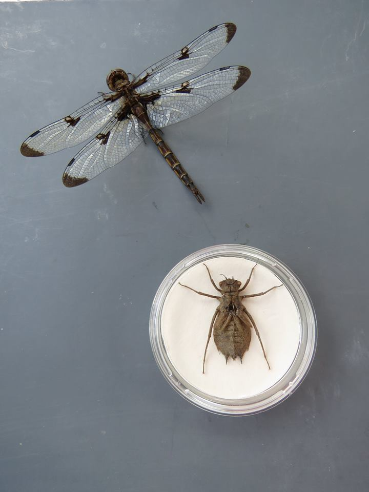 Prince baskettail adult & exuvia