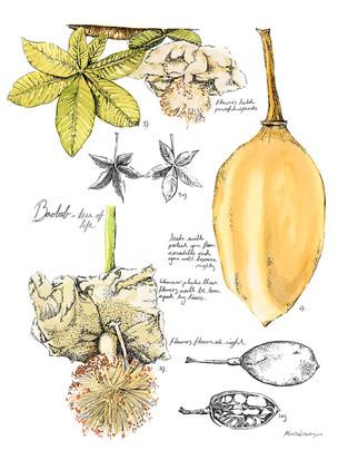 Baobab Botanical