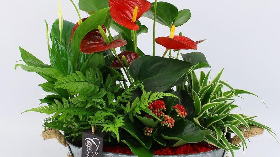 coupe de plantes anthurium