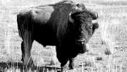 Bison on Hoof