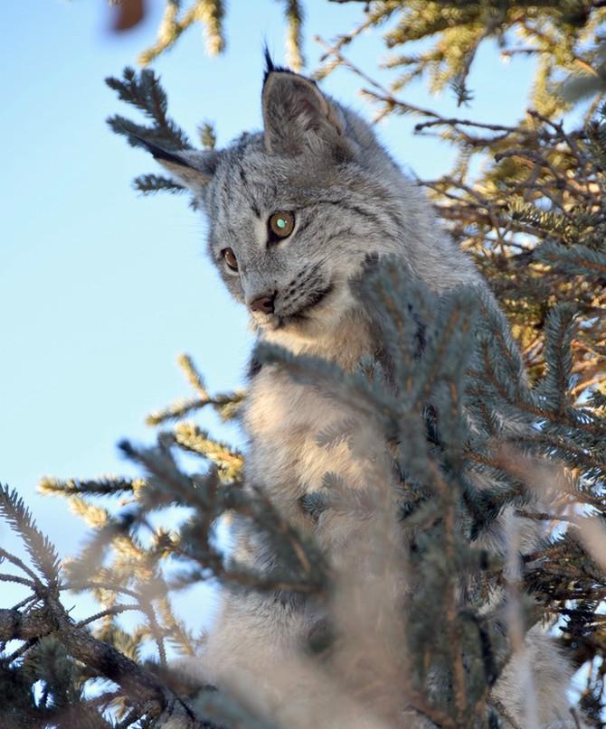Three Lynx